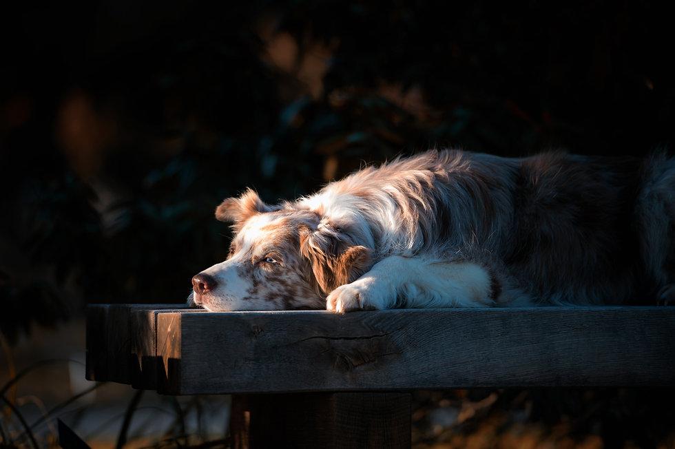 Hindefotografie Hundeshooting Susanne Wolf