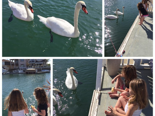 Swans in Sea Water Visitation!