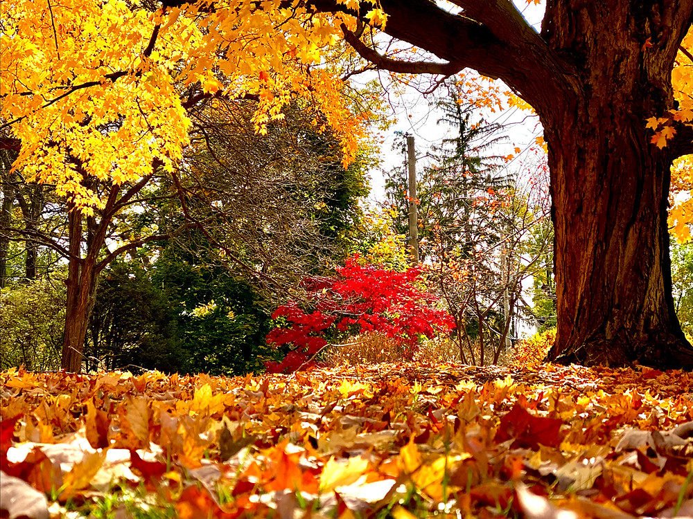 A beautiful oak tree shows off its bright yellow leaves, contrasted by reds and greens in the background
