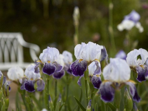 bearded-irises-arthur-bliss-britt-willou