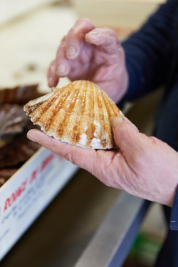 reportage coquille saint jacques