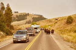 bison usa photo animal