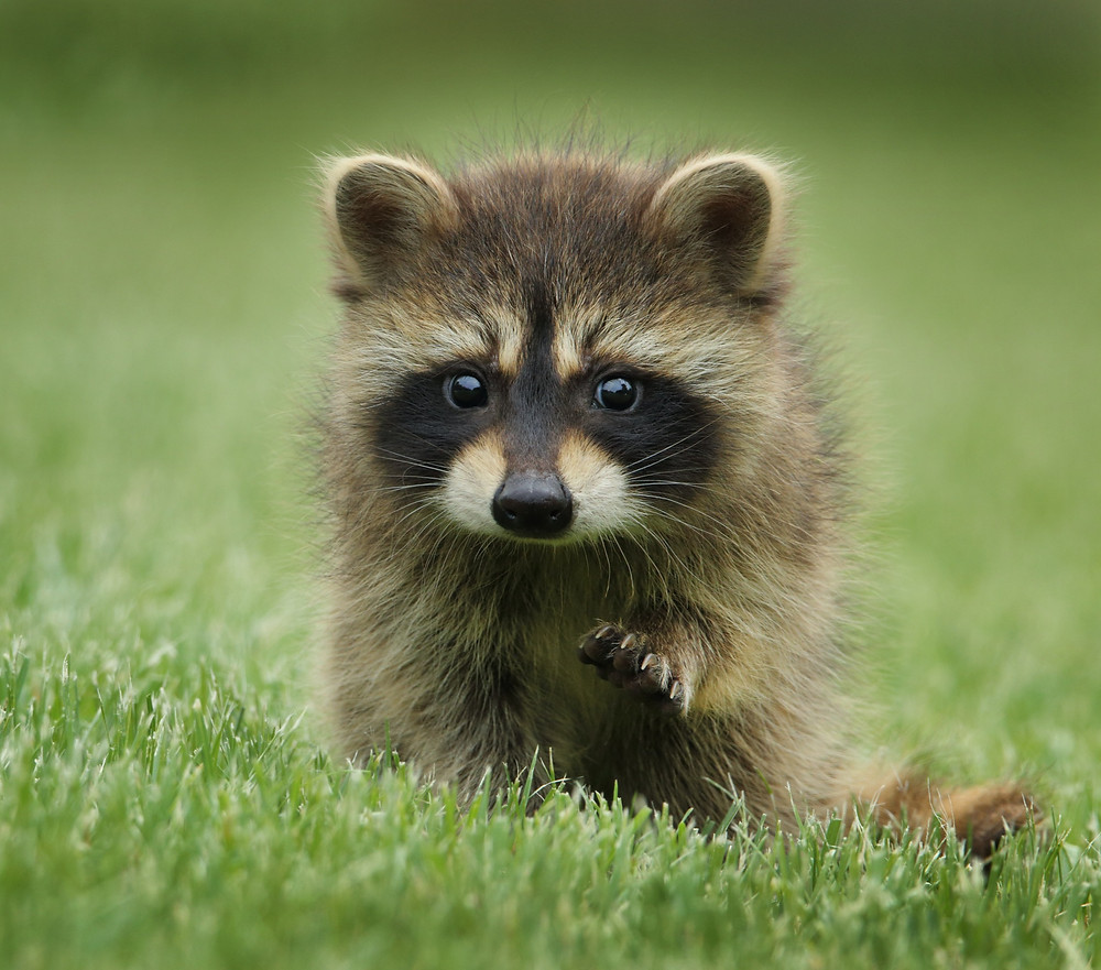 A young raccoon walking through green grass