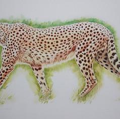ddf6211d6eafba66-CheetahatKessingland800