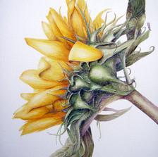 df54dd743042e6be-1-sunflowerpaintingsept