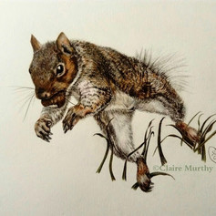 grey squirrel jumping with nut