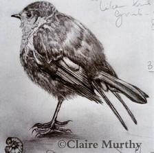 graphite sketch of a robin.jpg