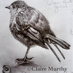 graphite sketch of a robin.jpg