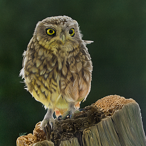 LittleOwl.png
