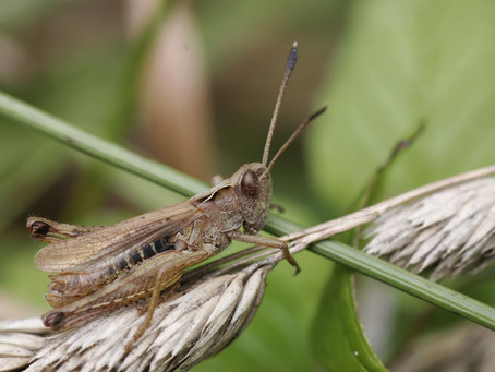 An Orchestra of Orthoptera.