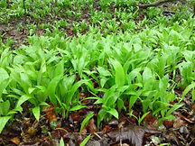 ramsons-march1-1024x768_edited.jpg