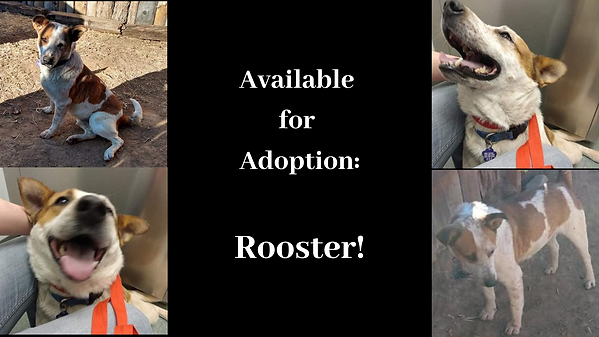 Available for Adoption_ Rooster! (1).png