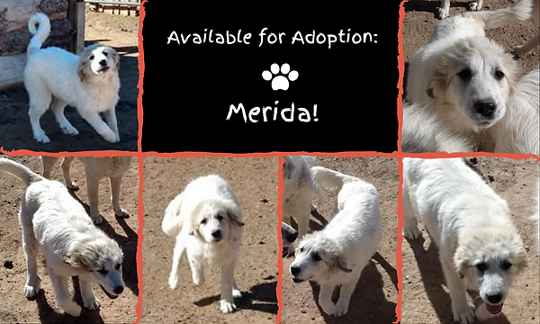 Available for Adoption_ Merida!.png