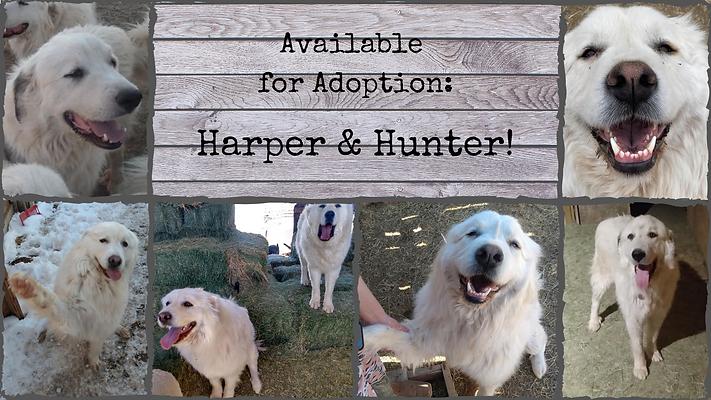 Available for Adoption_ Harper & Hunter!