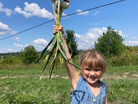 Garlic Pulling time!