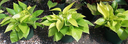 Jungle Collection- philodendron 'neon lime'