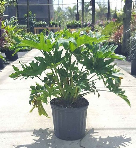 Jungle Collection- philodendron 'selloum'