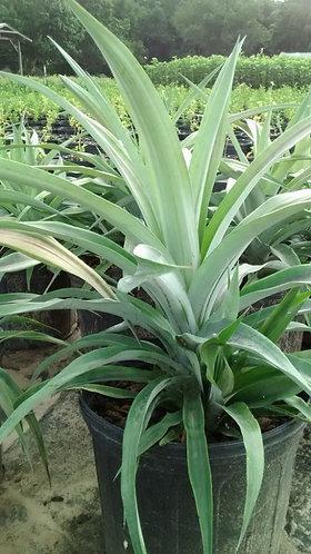 Hala Kahiki Collection - 'white jade pineapple' bromeliad