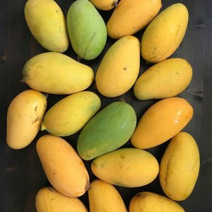 Caribbean Collection- Lemon meringue mango tree