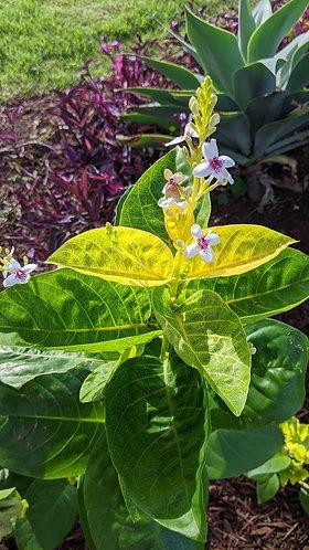 Aloha Collection - pseuderanthemum 'El Dorado'
