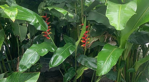 Aloha Collection - heliconia 'lobster claw'
