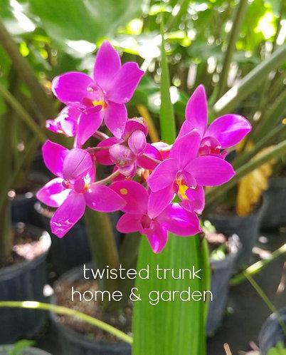 Aloha Collection- 'plicata grapette' ground orchid