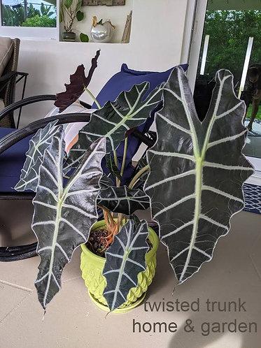 Jungle Collection- alocasia 'Purpley'