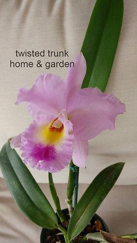 Aloha Collection - Rlc. Sedona's 'pink jewel'