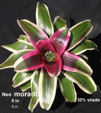 Hala Kahiki Collection - 'morado' bromeliad