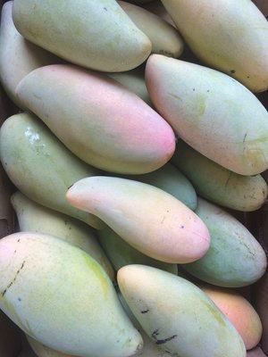 Caribbean Collection- Nam Doc Mai mango tree