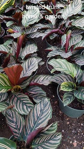 Jungle Collection - Calathea 'ornata'