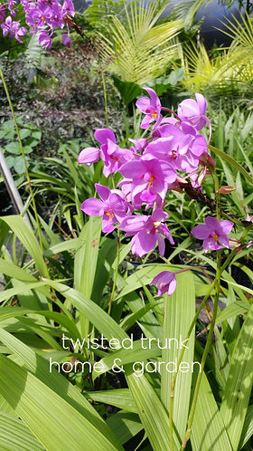 Aloha Collection- 'plicata species' ground orchid
