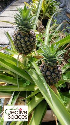 pineapples