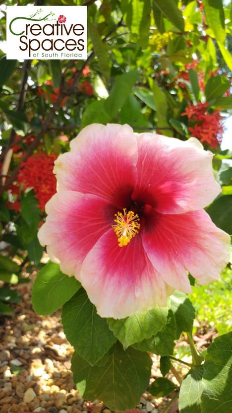hibiscus hybrid