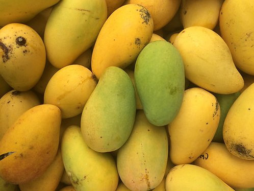 Caribbean Collection- Choc anan mango tree