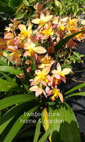Aloha Collection- 'Southwood sunrise' ground orchid