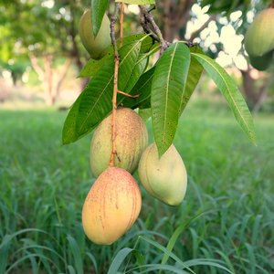 Caribbean Collection-  Pickering mango tree