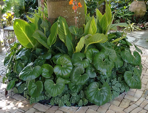 Tropical Collection- giant leopard plant