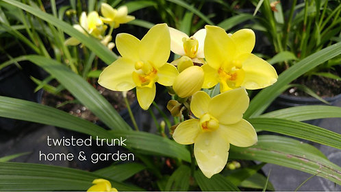 Aloha Collection- 'sassy sunshine' ground orchid