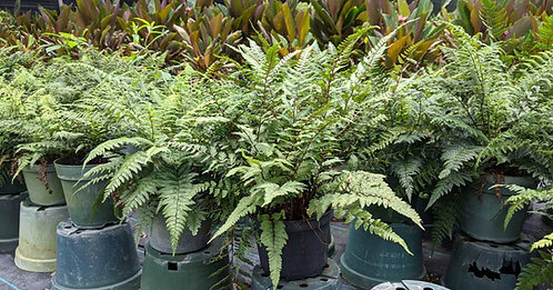 Forest Collection - Japanese fern 'regal red'