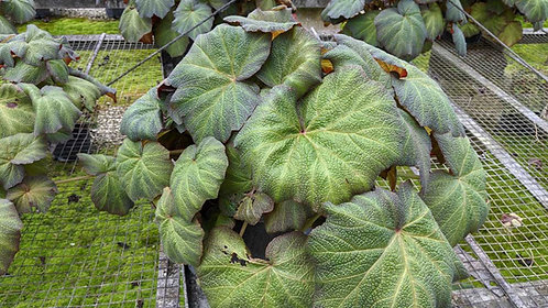 Tropical Collection- begonia 'pig skin'