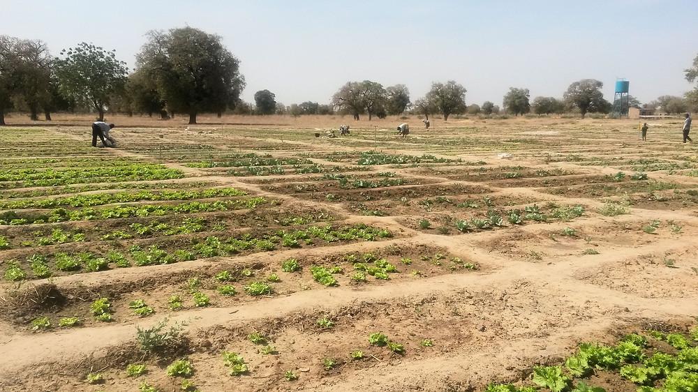 Cerca de 500 mujeres están cultivando los 15.000 m2 de huerto