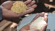 Gran cosecha de arroz en Kanso gracias al tractor