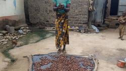 Recolección y tratamiento de las nueces