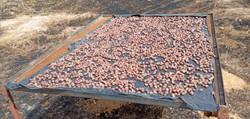 Secado de las nueces