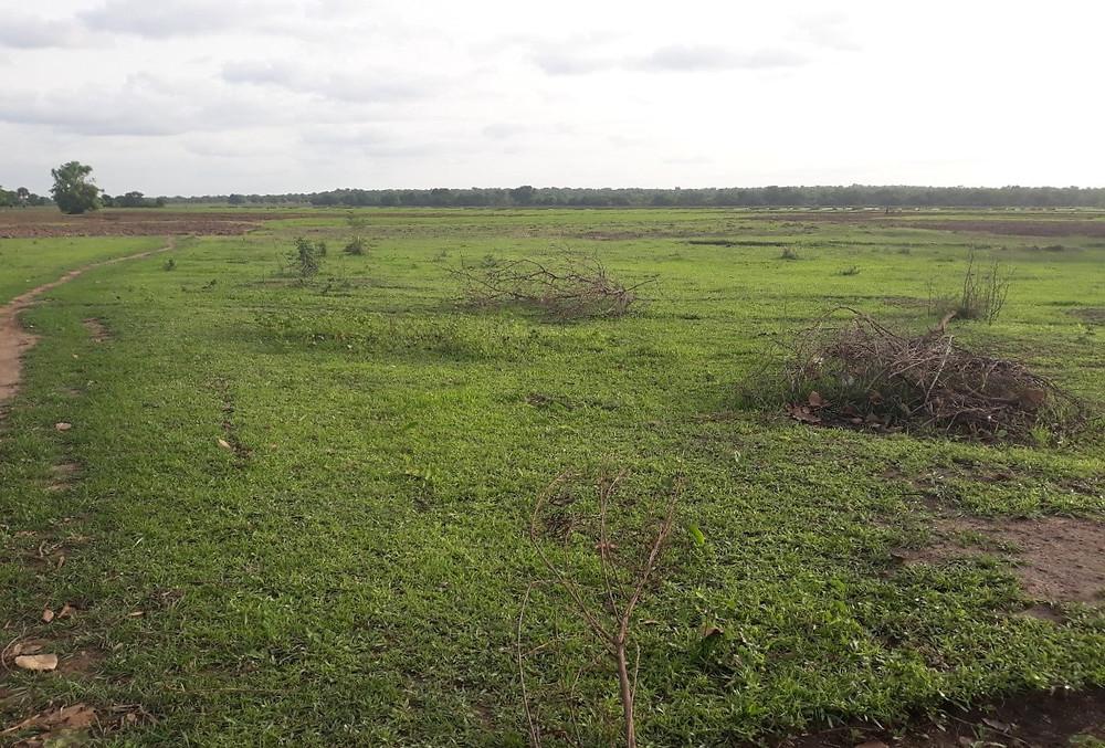 El arroz empieza a brotar en los campos plantados