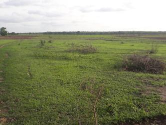 Plantadas 115 hectáreas de arroz gracias al tractor