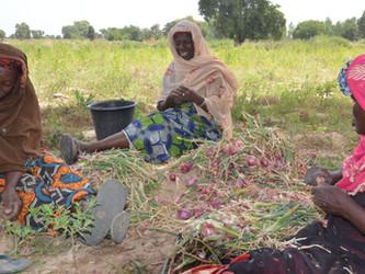 Afrique Verte colabora en el huerto de Boidié con un cultivo experimental
