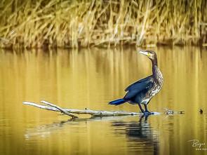 cormoran.jpg