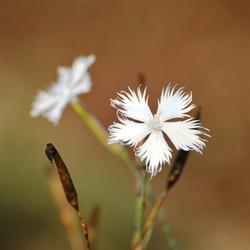 Dianthus serotinus